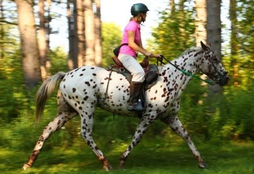 Foundation Appaloosa Horse Registry :: Home